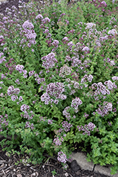 Oregano (Origanum vulgare) at Fernwood Garden Center
