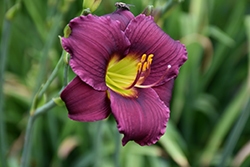 Barbary Corsair Daylily (Hemerocallis 'Barbary Corsair') at Fernwood Garden Center