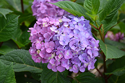 Bloomstruck® Hydrangea (Hydrangea macrophylla 'PIIHM-II') at Fernwood Garden Center