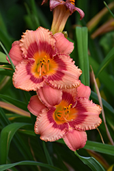 Strawberry Candy Daylily (Hemerocallis 'Strawberry Candy') at Fernwood Garden Center