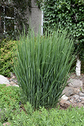 Northwind Switch Grass (Panicum virgatum 'Northwind') at Fernwood Garden Center