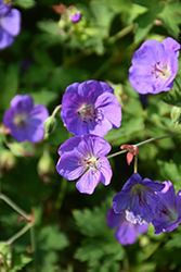 Jolly Bee Cranesbill (Geranium 'Jolly Bee') at Fernwood Garden Center