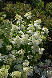 Little Lamb Hydrangea (Hydrangea paniculata 'Little Lamb') at Fernwood Garden Center