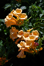Yellow Trumpetvine (Campsis radicans 'Flava') at Fernwood Garden Center