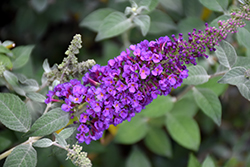 Miss Violet Butterfly Bush (Buddleia 'Miss Violet') at Fernwood Garden Center