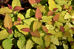 Double Play® Candy Corn® Spirea (Spiraea japonica 'NCSX1') at Fernwood Garden Center