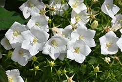 White Clips Bellflower (Campanula carpatica 'White Clips') at Fernwood Garden Center