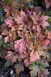 Hopscotch Foamy Bells (Heucherella 'Hopscotch') at Fernwood Garden Center