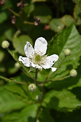 Baby Cakes™ Blackberry (Rubus 'APF-236T') at Fernwood Garden Center