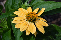 Sombrero® Granada Gold Coneflower (Echinacea 'Balsomold') at Fernwood Garden Center