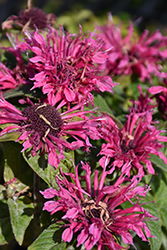 Cranberry Lace Beebalm (Monarda 'Cranberry Lace') at Fernwood Garden Center