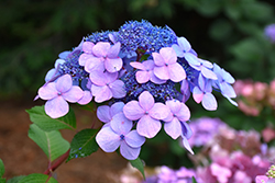 Twist-n-Shout® Hydrangea (Hydrangea macrophylla 'PIIHM-I') at Fernwood Garden Center
