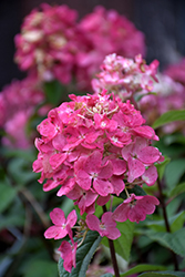 Fire Light® Hydrangea (Hydrangea paniculata 'SMHPFL') at Fernwood Garden Center