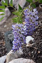 Blue Moon Wisteria (Wisteria macrostachya 'Blue Moon') at Fernwood Garden Center