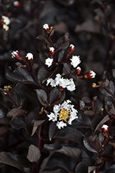 Ebony And Ivory Crapemyrtle (Lagerstroemia 'Ebony And Ivory') at Fernwood Garden Center