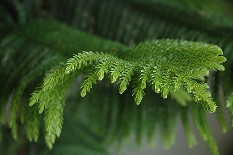 Norfolk Island Pine (Araucaria heterophylla) at Fernwood Garden Center