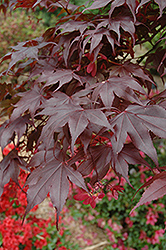 Bloodgood Japanese Maple (Acer palmatum 'Bloodgood') at Fernwood Garden Center