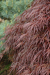 Red Select Cutleaf Japanese Maple (Acer palmatum 'Dissectum Red Select') at Fernwood Garden Center