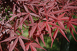 Beni Otake Japanese Maple (Acer palmatum 'Beni Otake') at Fernwood Garden Center