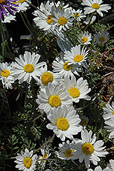 Snow Carpet Marguerite Daisy (Anthemis 'Snow Carpet') at Fernwood Garden Center