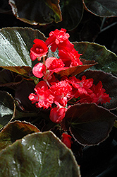 Doublet Red Begonia (Begonia 'Doublet Red') at Fernwood Garden Center