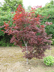 Red Emperor Japanese Maple (Acer palmatum 'Red Emperor') at Fernwood Garden Center