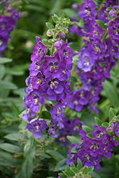 Angelface® Blue Angelonia (Angelonia angustifolia 'Angelface Blue') at Fernwood Garden Center
