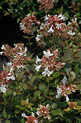 Little Richard Glossy Abelia (Abelia x grandiflora 'Little Richard') at Fernwood Garden Center