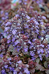 Bronze Beauty Bugleweed (Ajuga reptans 'Bronze Beauty') at Fernwood Garden Center