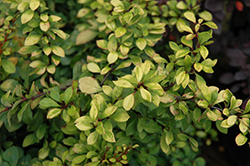 First Editions® Daybreak Japanese Barberry (Berberis thunbergii 'First Editions Daybreak') at Fernwood Garden Center
