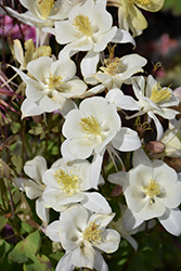 Origami White Columbine (Aquilegia 'Origami White') at Fernwood Garden Center