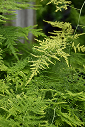Asparagus Fern (Asparagus plumosus) at Fernwood Garden Center